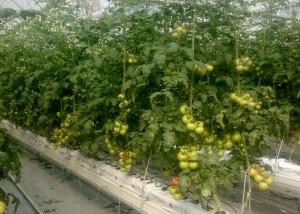 domates serası